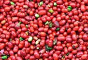 ginsengberries1